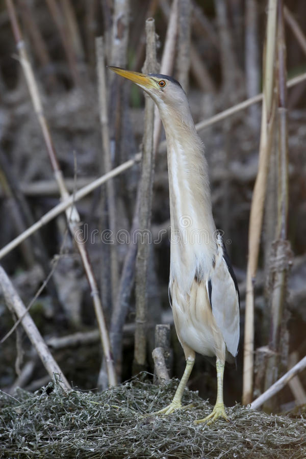Mały bąk, Ixobrychus minutus obraz stock