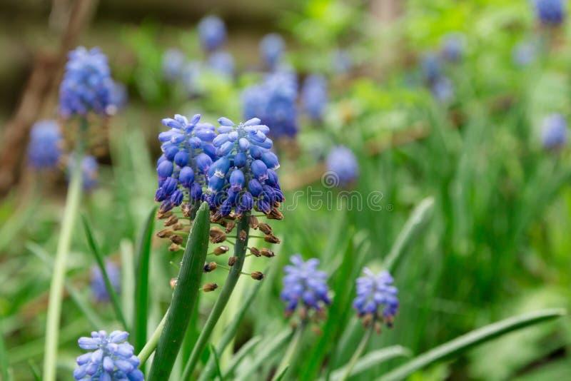 Mały błękit kwitnie na zielonym tle fotografia royalty free
