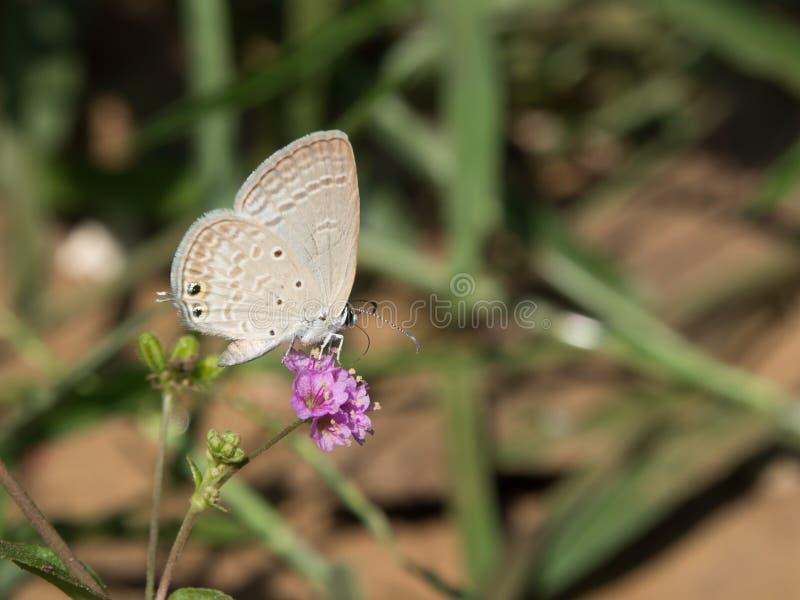 Mały błękitny amorek bierze swój śniadanie na fiołkowym kwiacie fotografia stock