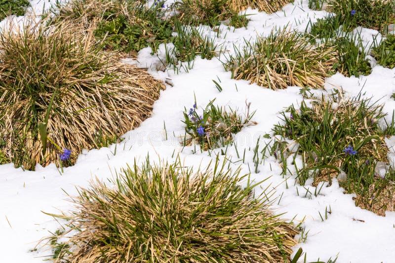 Mały błękitny kwiatu dorośnięcie spod śniegu, natury obudzenie - wizerunek obraz royalty free