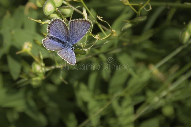 Mały błękitny motyl na kwiacie obrazy stock