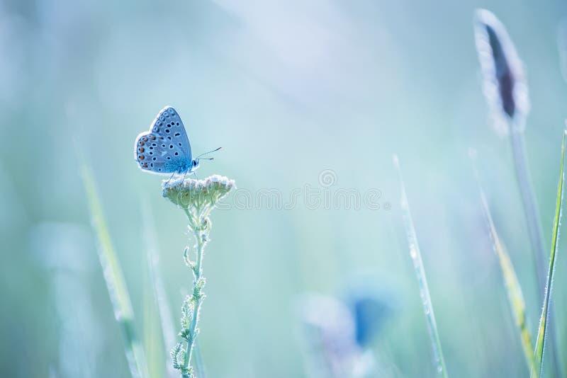 Ma?y b??kitny motyli bluehead na krwawnika kwiacie w ??ce zdjęcie stock