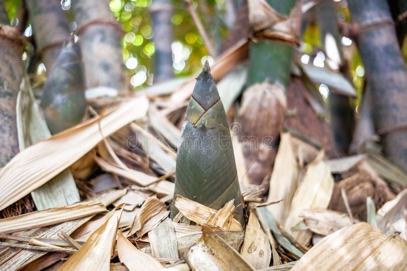 Mały bambusowy krótkopęd zdjęcia royalty free