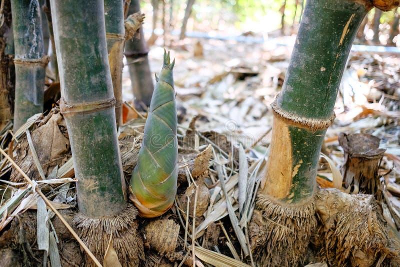 Mały bambusowy krótkopęd zdjęcie royalty free