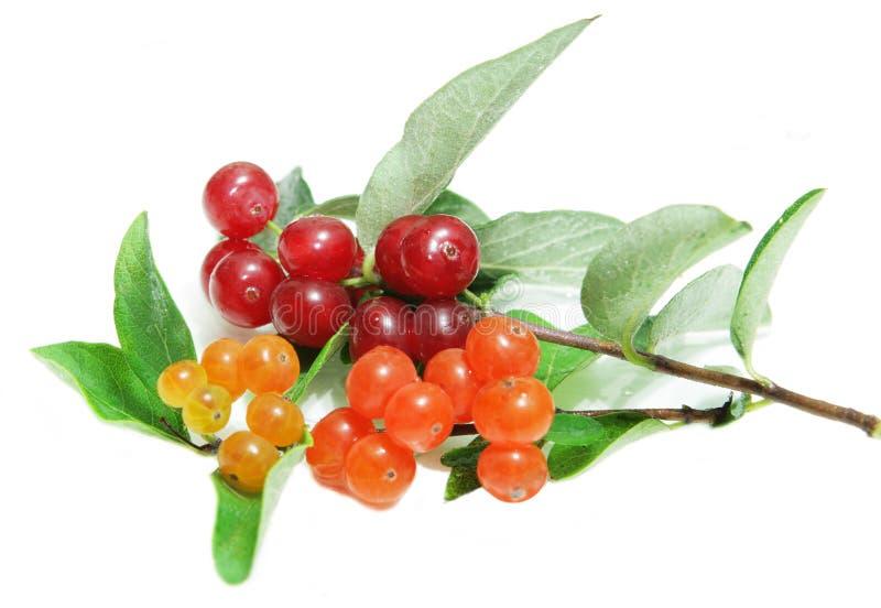 mały banksi jagodowej dziki zdjęcie royalty free