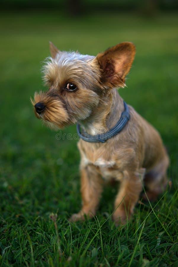 Mały beżowy szczeniaka pies fotografia stock