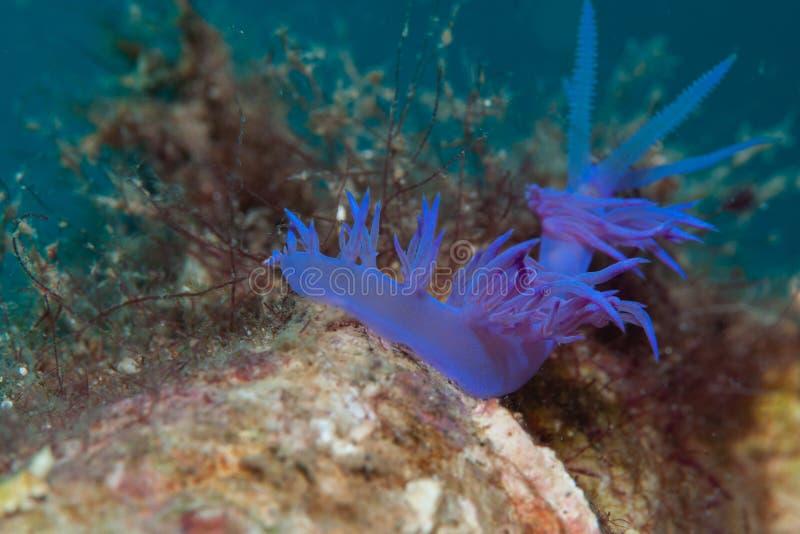 Mały bezkręgowiec purpurowy zdjęcia stock