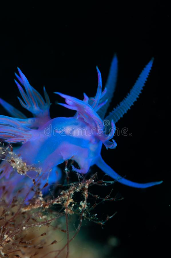 Mały bezkręgowiec purpurowy obraz stock
