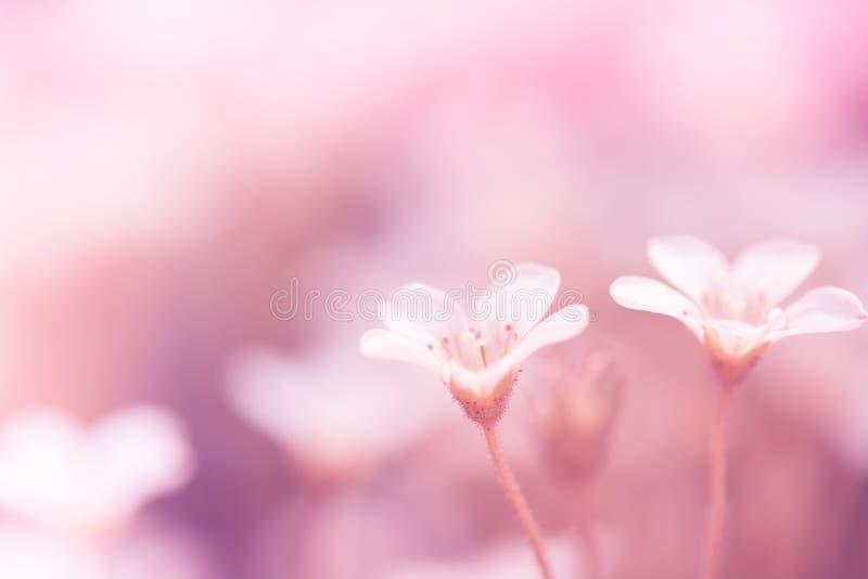 Mały biały badan kwitnie na różowym tle fotografia stock