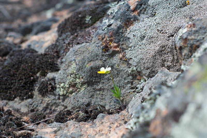 Mały biały kwiat z żółtymi płatkami, śródpolnego pansy fiołków growi zdjęcie royalty free