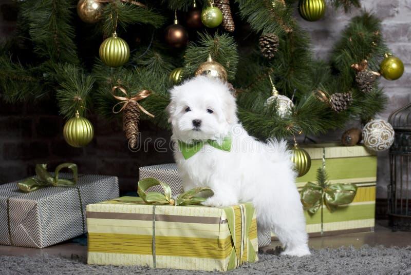 Mały biały piękny psi maltese szczeniak zdjęcia stock