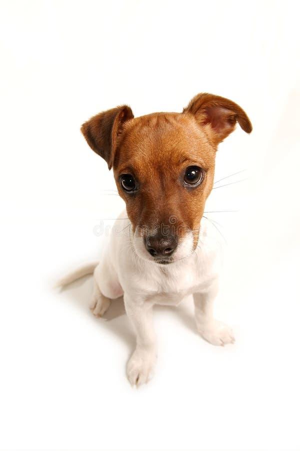 mały biały pies zdjęcia stock