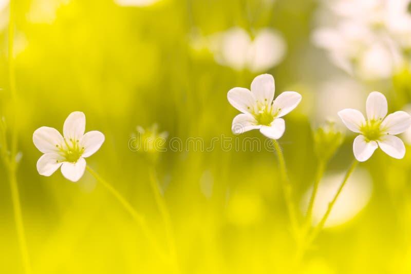 Mały białych kwiatów Saxifraga na delikatnym tle Makro- czerwoni kwiaty Selekcyjna ostrość obrazy royalty free