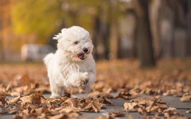 Mały bielu psa bieg w parku zdjęcie stock