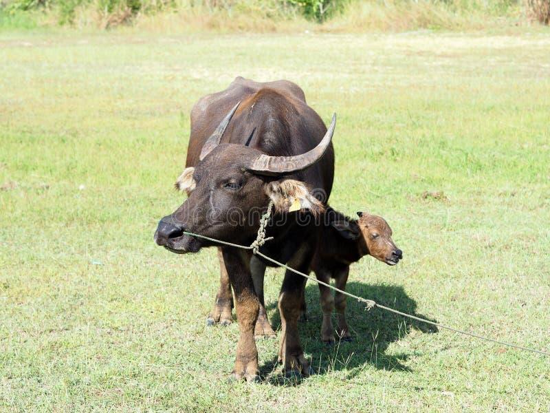 Mały bizon z jego macierzystą pozycją na zielonej trawie fotografia royalty free