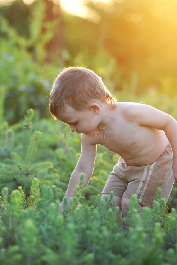 Mały boi iooking przy młodymi sosnami podczas zmierzchu zdjęcie royalty free