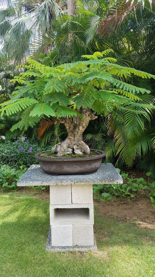Mały bonsai drzewo z zielenią opuszcza na cementu stole w Guanica, Puerto Rico obraz royalty free