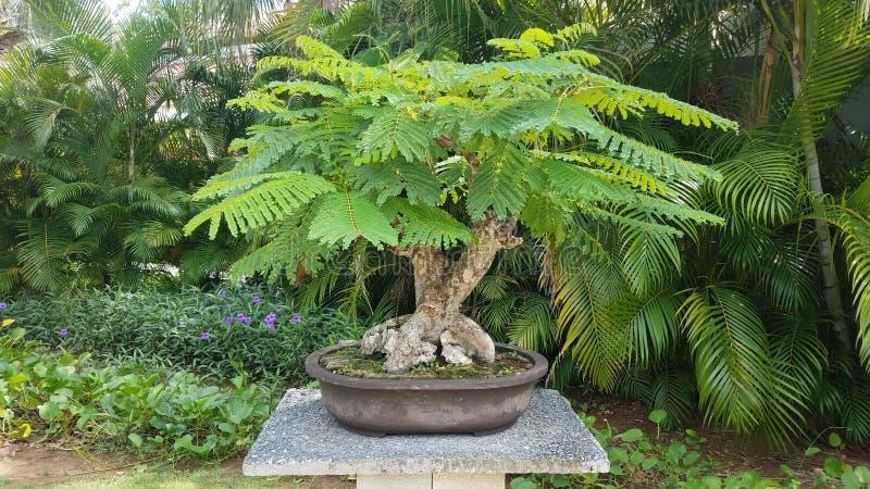 Mały bonsai drzewo z zielenią opuszcza na cementu stole w Guanica, Puerto Rico zdjęcia royalty free