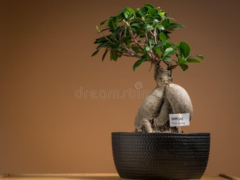 Mały bonsai ficus drzewo zasadzający w czarnym garnku obrazy stock