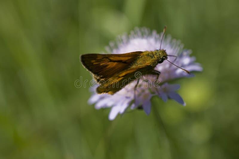Mały brązowy motyl siedzący na fioletowym kwiacie na łące w letni dzień zdjęcia royalty free