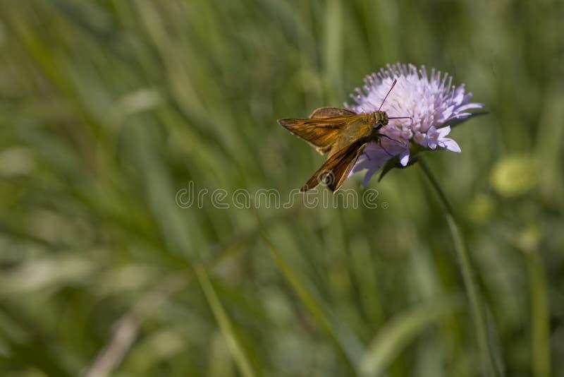 Mały brązowy motyl siedzący na fioletowym kwiacie na łące w letni dzień zdjęcie stock