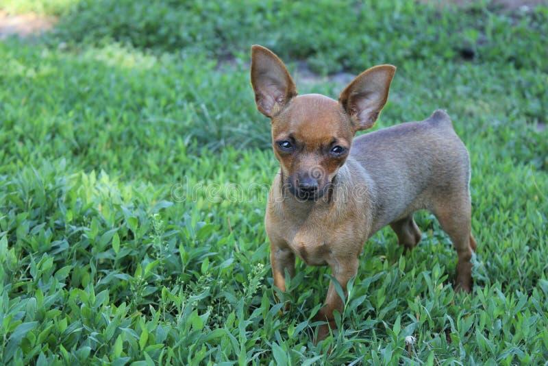 Mały brązu psa bieg przez trawy fotografia stock