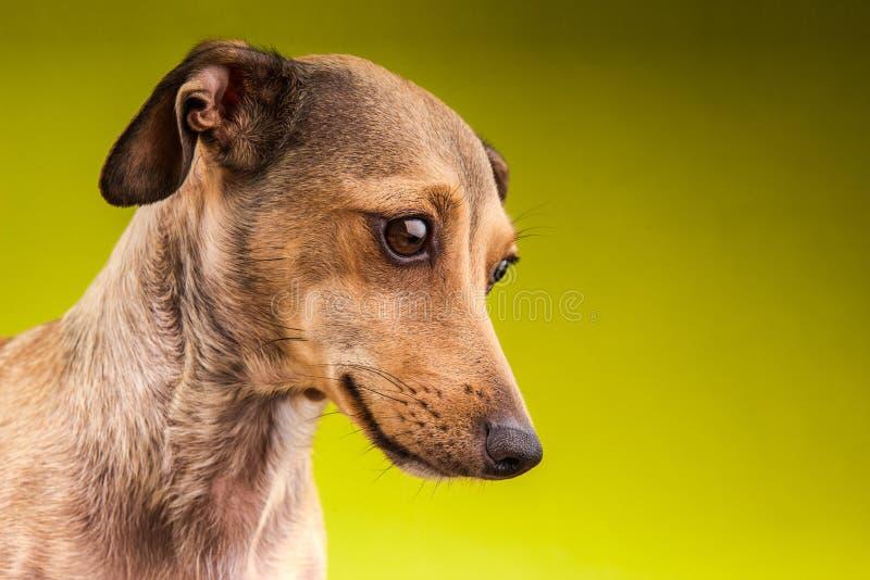 Mały brown krótkiego włosy jamnika pies fotografia royalty free
