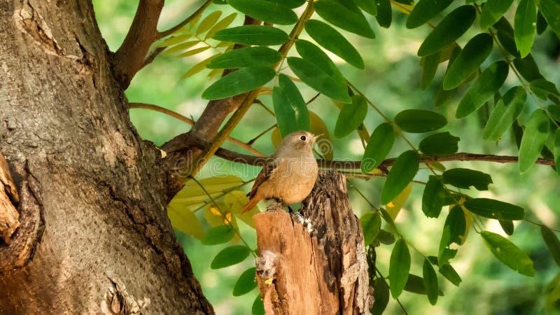 Mały Brown ptak na India fotografia royalty free