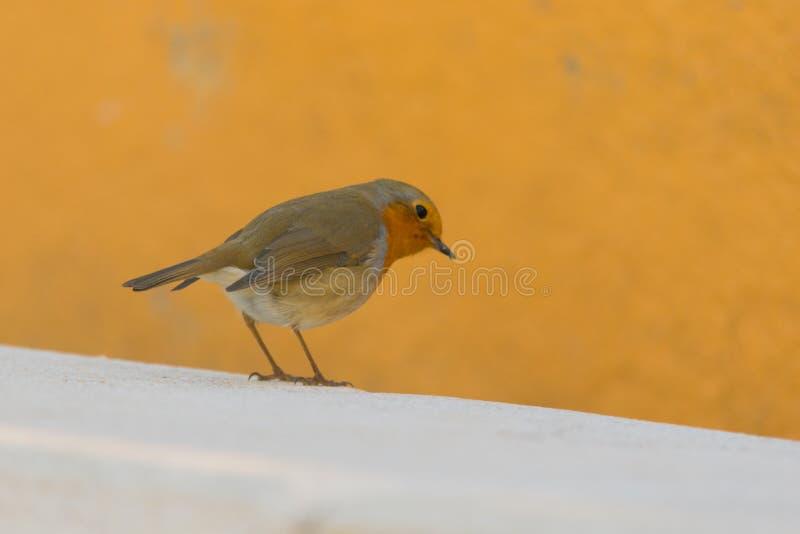 Mały brown ptak umieszczający patrzejący ja zdjęcie royalty free