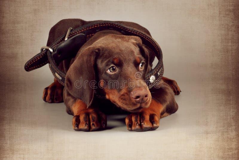 Mały brown szczeniaka Doberman kłama w wielkim kołnierzu dla dorosłego fotografia stock