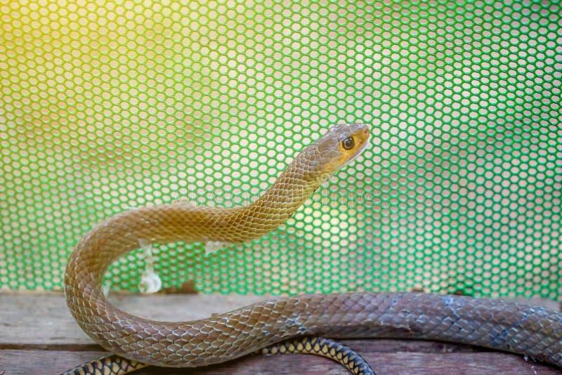 Mały brown wąż na drewnianej podłoga z zielonym netto tłem i raca zaświecamy od tła fotografia royalty free