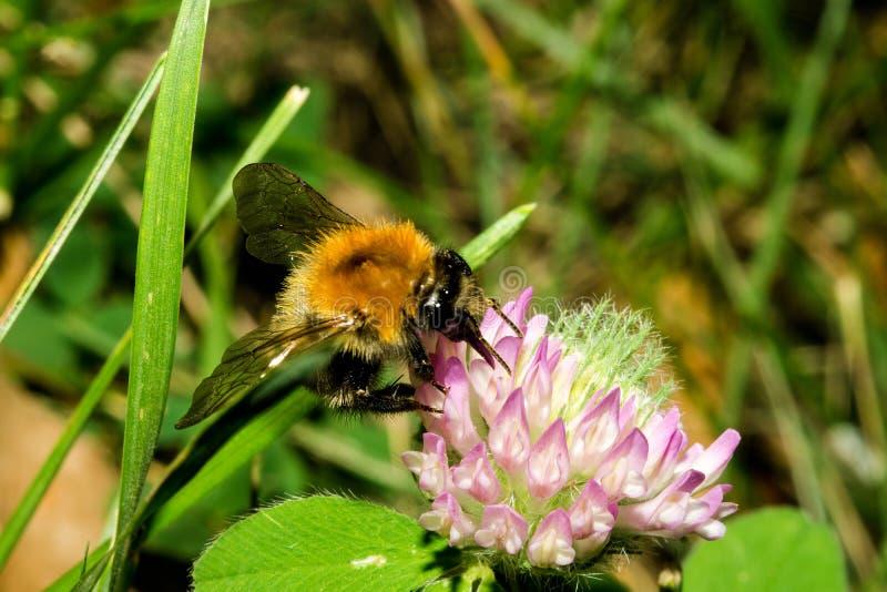 Mały bumblebee łapał jego łapy za kwiatem i pił nektar Makro- obrazy royalty free
