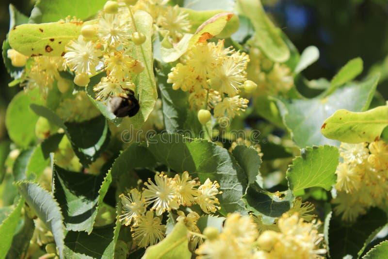 Mały bumblebee na lipowym drzewie kwitnie, jaskrawy światło słoneczne obrazy royalty free