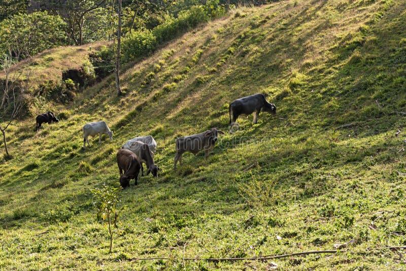 Mały bydła stado przy jeziornym Arenal, costa rica zdjęcie royalty free