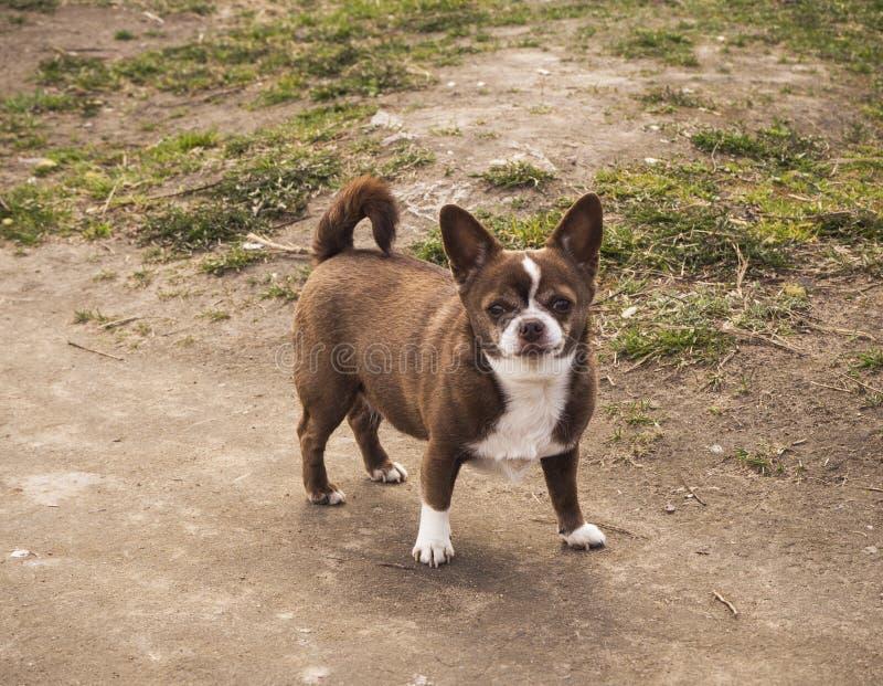 Mały chihuahua pies w parkowej pozycji na drodze zdjęcia royalty free