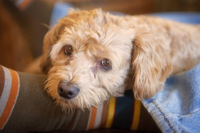 Mały cockapoo pies na a obsługuje nogi obraz stock