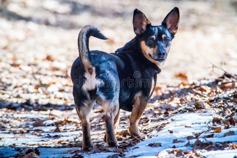 Mały czarnego psa patrzeć obrazy stock