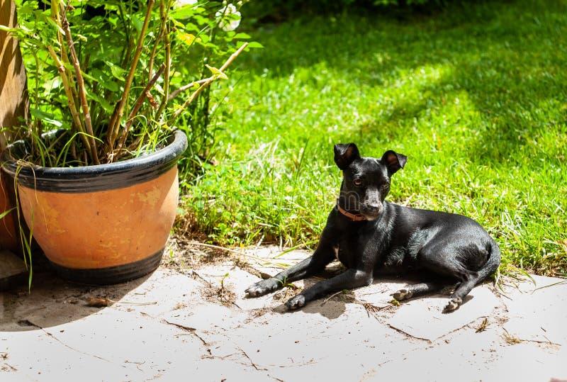 mały czarnego psa pincher jak traken kłaść na kamienny podłogowy plenerowym, blisko zielonej trawy kwiatu garnka i obraz stock