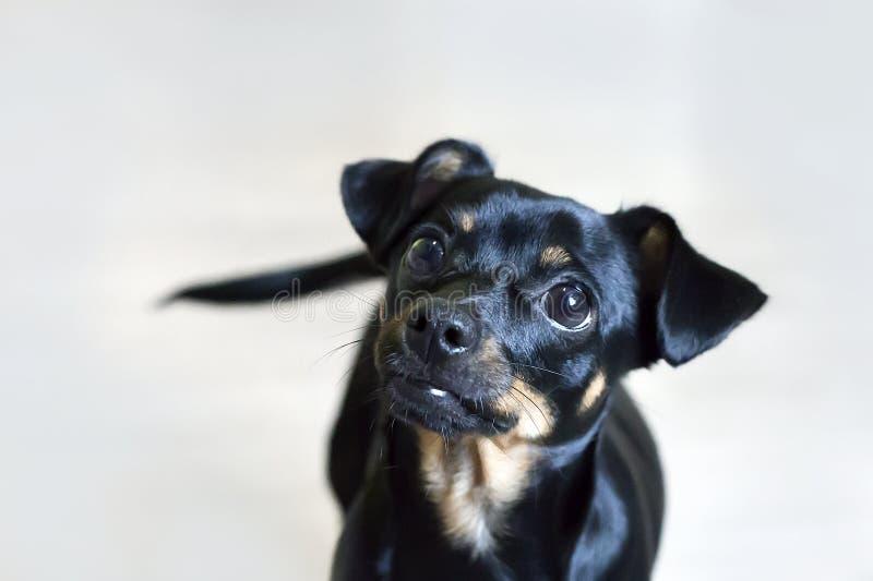 Mały czarnego psa zakończenie fotografia royalty free