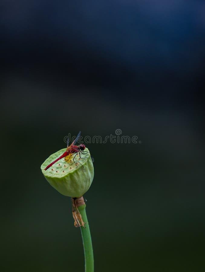 Mały Czerwony Dragonfly obrazy royalty free