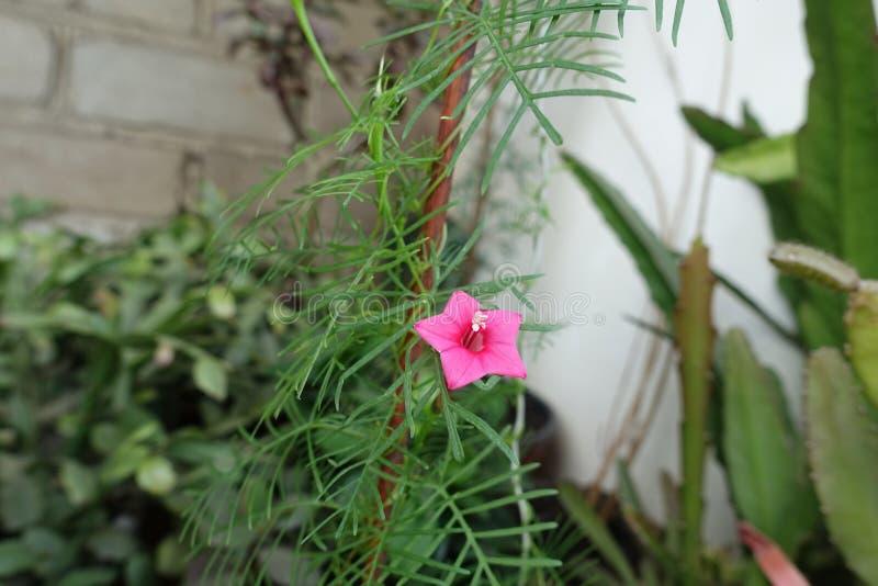 Mały czerwony kwiat Ipomoea quamoclit zdjęcia royalty free