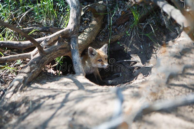 Mały czerwony lis w dziurze obraz royalty free