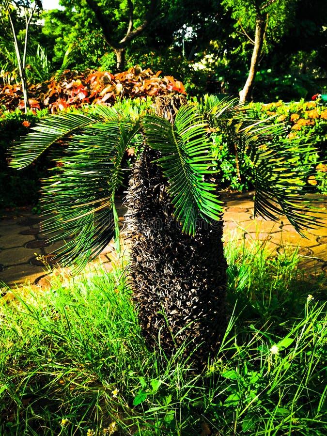 mały drzewko palmowe zdjęcia stock