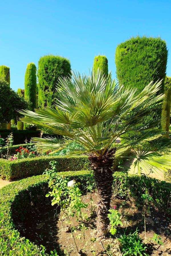 Mały drzewko palmowe obraz royalty free
