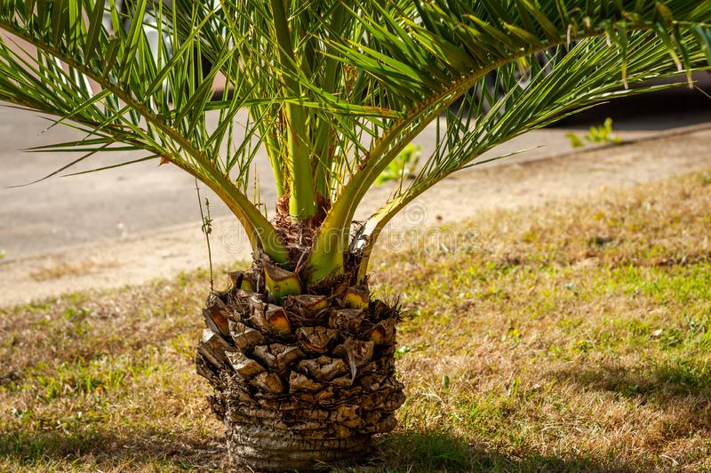 Mały drzewko palmowe na deptaku Clair De Lune w Dinard obrazy stock