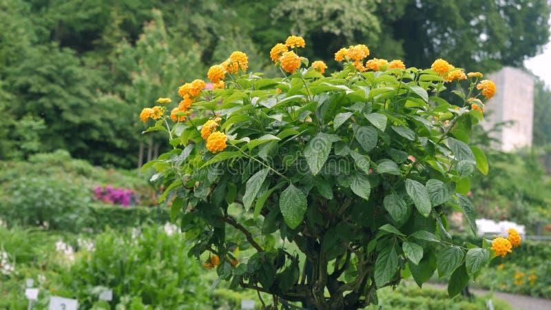 Mały drzewo z kolorem żółtym kwitnie na nim fotografia stock