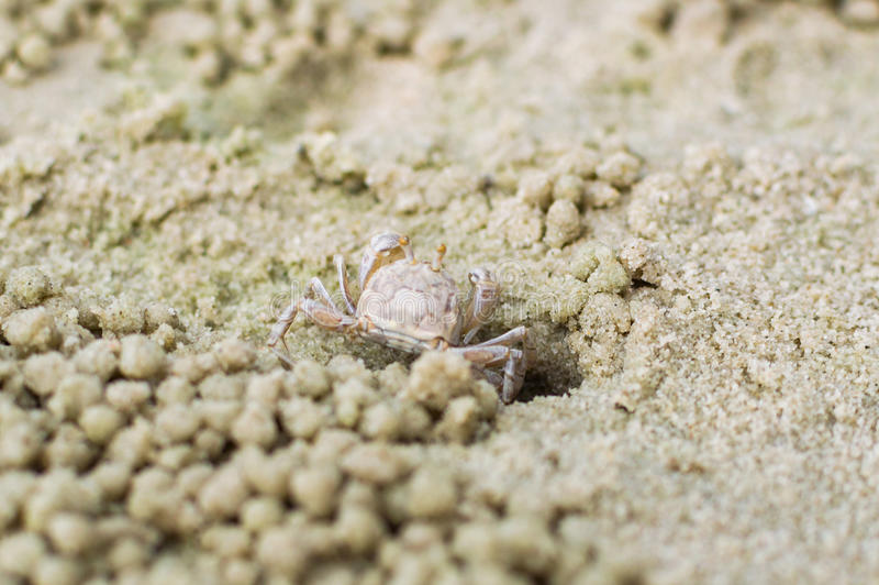 Mały ducha krab robi piasek piłce fotografia stock
