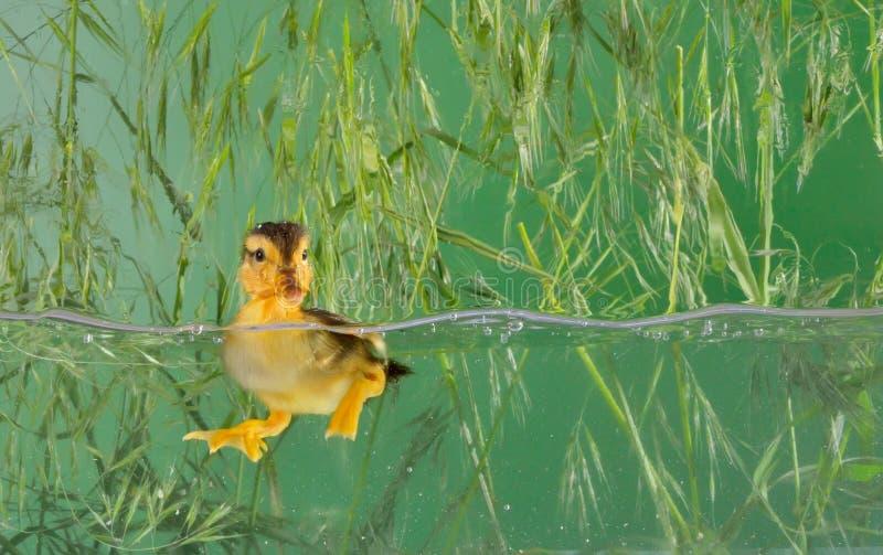 Mały dziecko kaczki dopłynięcie obrazy royalty free