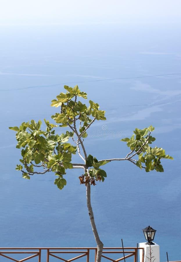 Mały figi drzewo zdjęcia stock