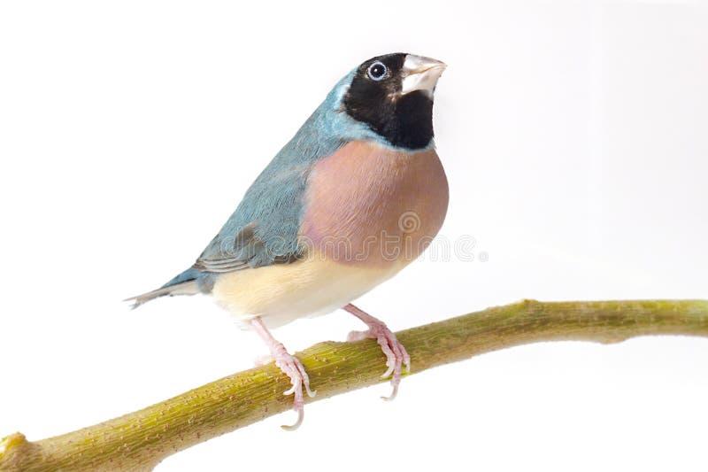 Mały Finch W Głębokich myślach fotografia stock